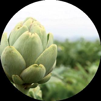 productos alcachofas