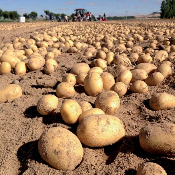 porductos patatas campo